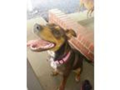 Adopt Bailey a Brown/Chocolate - with Tan American Pit Bull Terrier / Australian