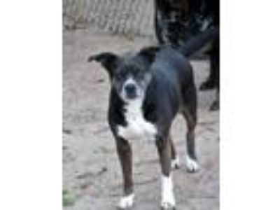 Adopt Bossy Mom a Boston Terrier