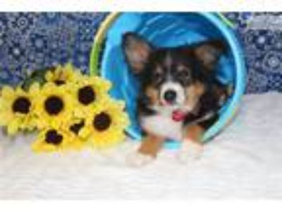 Champion Sired Tiny Toy Btm Reduced!