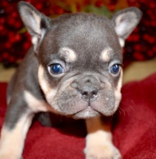 French Bulldog PUPPY FOR SALE ADN-103911 - XMAS Frenchie Pups