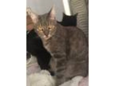 Adopt Serena a Gray, Blue or Silver Tabby Domestic Shorthair (short coat) cat in