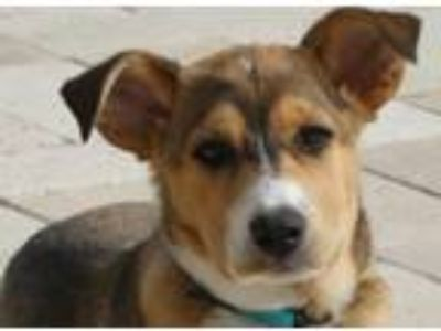 Adopt Handsome Dan a Mixed Breed