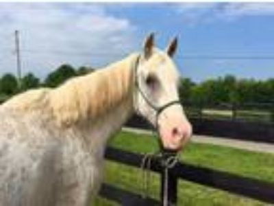 Adopt Red Cloud a Arabian, Tennessee Walker