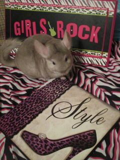 female chinchilla for sale