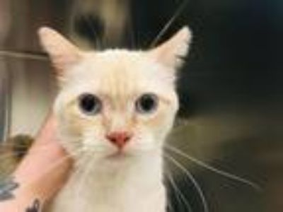 Adopt MAX a Siamese, Domestic Short Hair