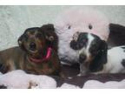 Adopt Hannah and Molly a Dachshund