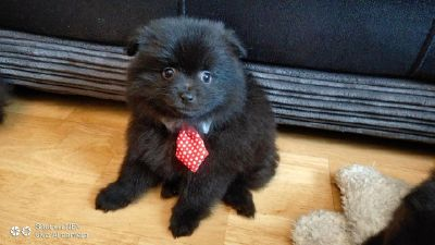 Cute Pomeranian Puppies for Re