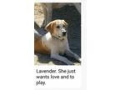 Adopt Lavendar a Coonhound, Great Pyrenees