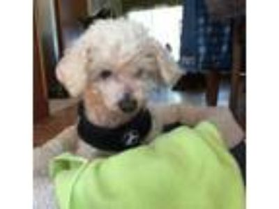 Adopt Buffy a Poodle