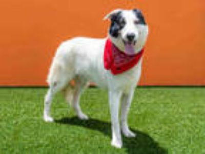 Adopt CHARLIE a White - with Black Collie / Mixed dog in Doral, FL (24435458)