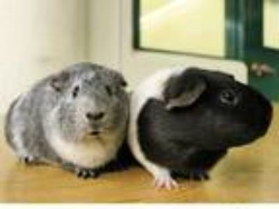 Adopt APRIL a Silver or Gray Guinea Pig / Mixed small animal in San Francisco