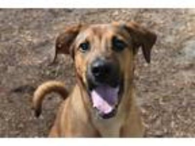 Adopt BEAU a Tan/Yellow/Fawn - with White German Shepherd Dog / Mixed dog in