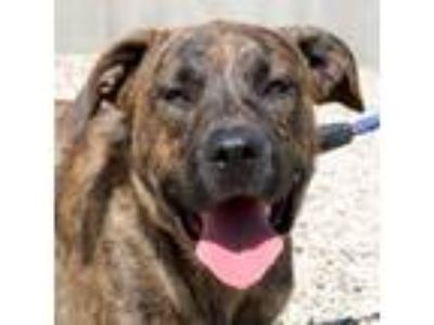 Adopt J Cool a Brindle Labrador Retriever / Mixed dog in Jefferson
