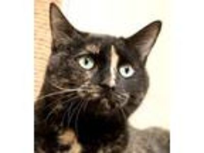 Adopt Sophia a Tortoiseshell, Domestic Short Hair