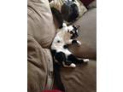 Adopt Aro (air-row) a Black & White or Tuxedo Domestic Mediumhair cat in Oak