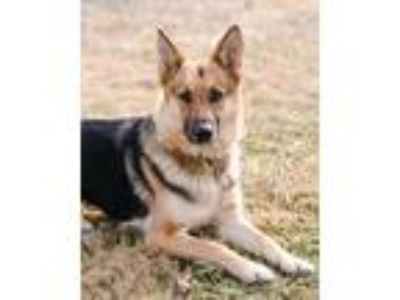 Adopt Layla a German Shepherd Dog