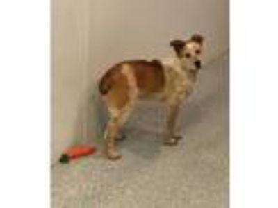 Adopt Strider a Australian Cattle Dog / Blue Heeler