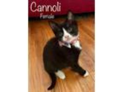Adopt Cannoli a Domestic Short Hair