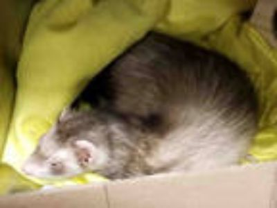 Adopt a Brown or Chocolate Ferret / Mixed small animal in Anchorage