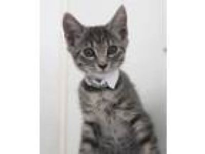 Adopt Toph a Gray or Blue Domestic Shorthair / Domestic Shorthair / Mixed cat in