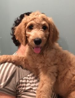 Goldendoodle PUPPY FOR SALE ADN-101058 - Goldendoodle Puppies Ready for their Forever Homes