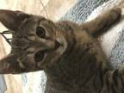 Adopt TIGGER a Brown or Chocolate (Mostly) Domestic Shorthair / Mixed (short