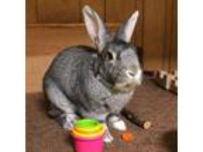 Adopt Bobby a Grey/Silver American / Mixed (medium coat) rabbit in Holbrook