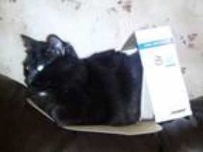Adopt Chloe a Black (Mostly) Domestic Longhair cat in Davenport, FL (25310766)