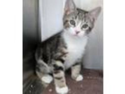 Adopt Apollo a Brown Tabby Domestic Shorthair / Mixed (short coat) cat in