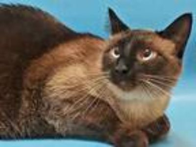 Adopt Sammy a Brown or Chocolate Siamese / Mixed cat in Golden Valley