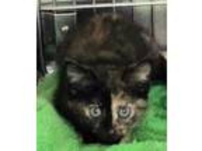 Adopt Tami a All Black Domestic Shorthair / Domestic Shorthair / Mixed cat in