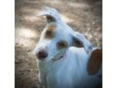 Adopt Taffy a White - with Red, Golden, Orange or Chestnut Ibizan Hound /