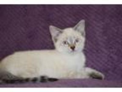 Adopt Yeti a Domestic Short Hair, Siamese
