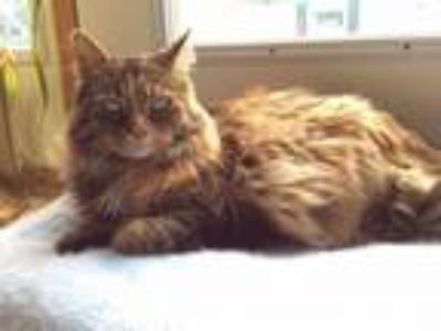 Adopt Danica a Domestic Long Hair