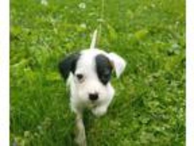 Adopt Zoey a Black - with White Terrier (Unknown Type, Medium) / Cattle Dog /
