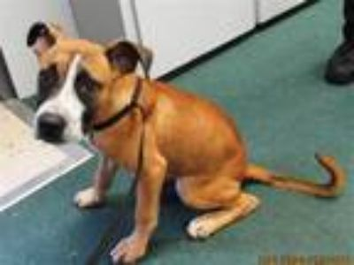 Adopt Barry a Boxer / Mixed dog in LAFAYETTE, LA (25884994)