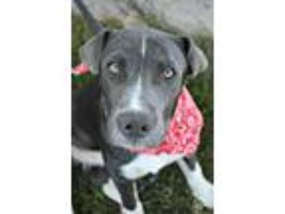 Adopt Enzo a Gray/Silver/Salt & Pepper - with White American Staffordshire