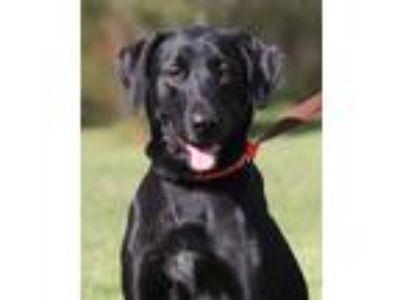 Adopt Bean a Great Dane / Labrador Retriever / Mixed dog in North Fort Myers