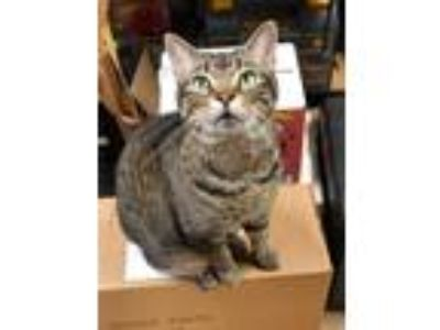 Adopt MIKE a Brown Tabby Domestic Shorthair / Mixed (short coat) cat in Capshaw