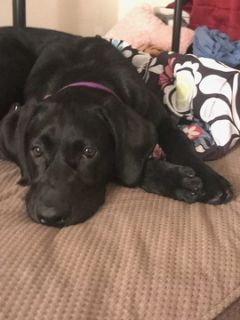 Labrador Retriever PUPPY FOR SALE ADN-94044 - Black Lab Pup