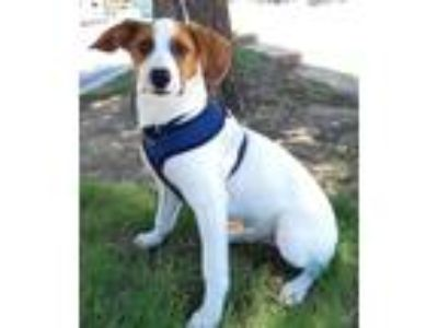 Adopt Irwin a White - with Brown or Chocolate Beagle / Terrier (Unknown Type