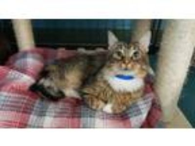Adopt Weston a Brown or Chocolate Domestic Longhair / Domestic Shorthair / Mixed
