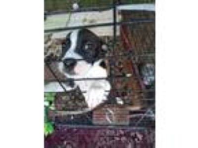 Adopt Miracle a Black - with White Border Collie / American Pit Bull Terrier /