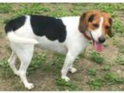 Adopt Zena a Tricolor (Tan/Brown & Black & White) Beagle / Mixed dog in