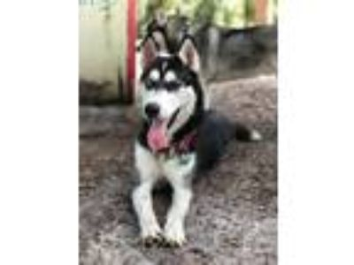 Adopt Asher a Black - with White Siberian Husky / Mixed dog in Winter Springs