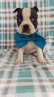 Boston Terrier PUPPY FOR SALE ADN-90184 - AKC Boston Terrier