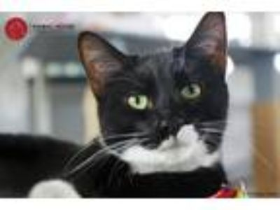 Adopt Justin a Black & White or Tuxedo Domestic Shorthair (short coat) cat in St