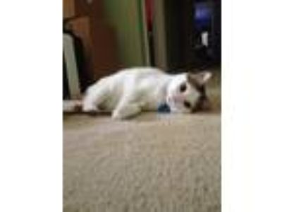 Adopt Pumpkin a White (Mostly) Domestic Shorthair cat in Midlothian