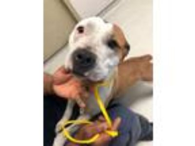 Adopt Whisper. a Pit Bull Terrier / Mixed dog in Detroit, MI (25491718)