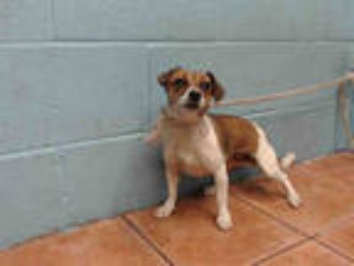 Adopt JELLYBELLY a Tricolor (Tan/Brown & Black & White) Jack Russell Terrier /